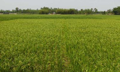 ইরি বোরো ক্ষেতে নেক ব্লাস্ট রোগ: কৃষকরা দিশেহারা