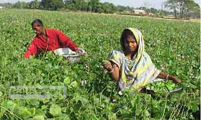 পাবনায় ২৫ কোটি টাকার শিম বিক্রির টার্গেট