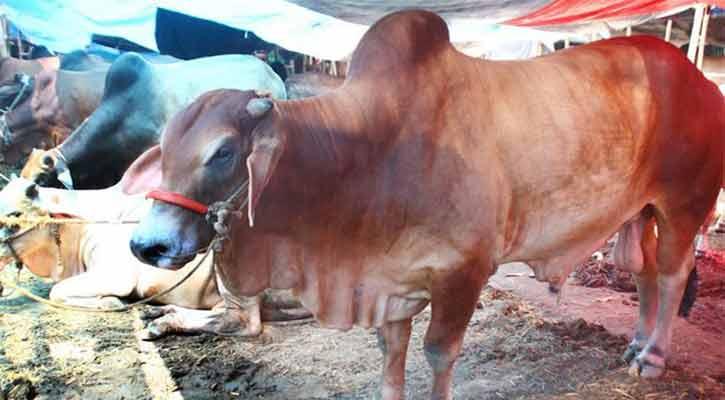 কোরবানির হাটে সুস্থ-সবল গরু চেনার উপায়
