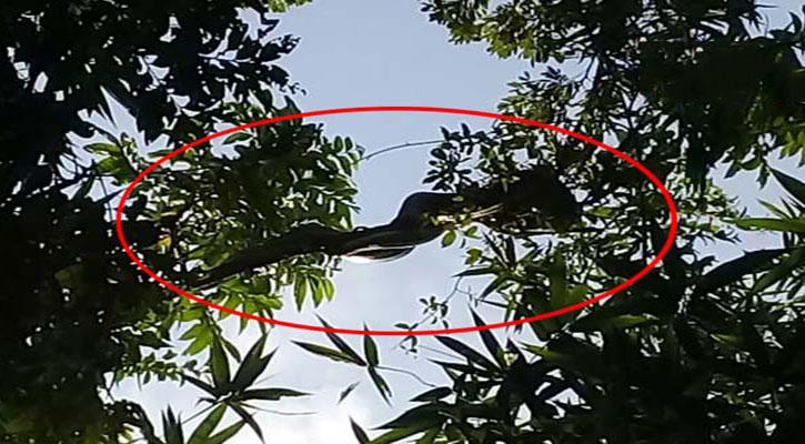 গোরস্থানের গাছের ডালে বিশাল আকৃতির অজগর