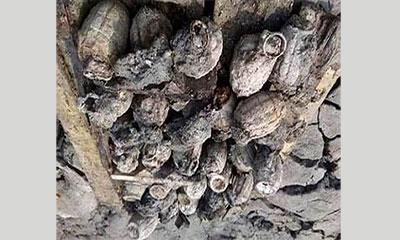 মাটি খুড়ে মিলল ৭১ সালে পুতে রাখা ৩২টি গ্রেনেড