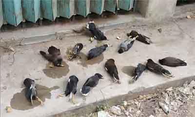 ভাতের সঙ্গে বিষ খাইয়ে মারা হলো পাখিগুলোকে