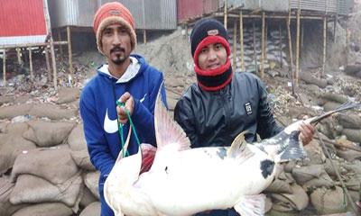 পদ্মায় বিশাল আকৃতির একটি বাঘাইড় মাছ ধরা পড়েছে