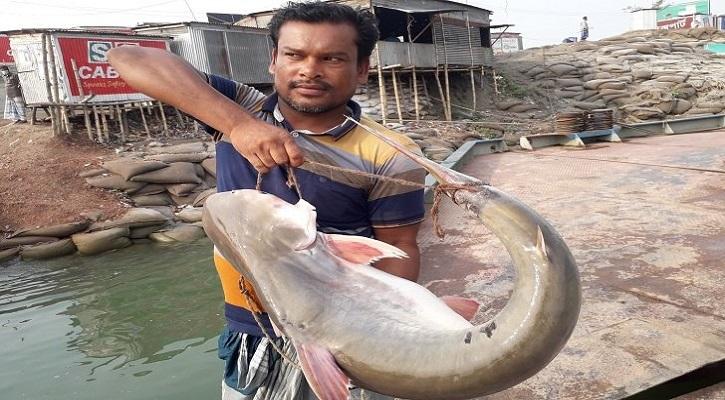 জেলের জালে ধরা পড়েছে ১৩ কেজি ওজনের পাঙাশ মাছ